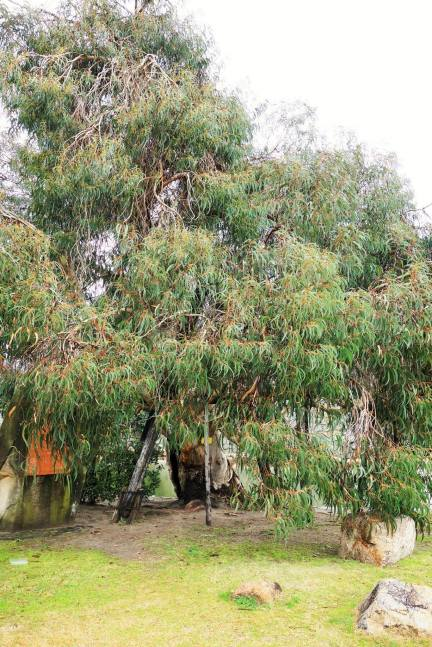 A-bombed Eucalypt tree