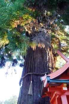 Honsha-osugi (1000 yr old cedar)