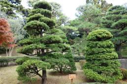 Pinus Parviflora trees