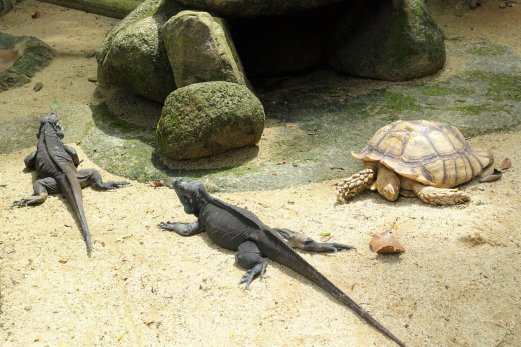 Rhinoceros Iguana and African Spurred Tortoise