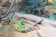 Yemen Chameleon & Ornate Spiny-tailed Lizard