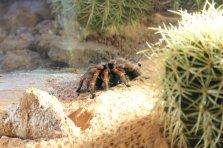 Mexican Redleg Tarantula