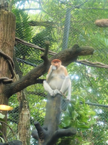Proboscis Monkey, Rainforest Walk