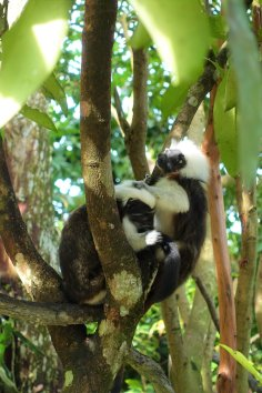 Cotton Top Tamarin, Rainforest Courtyard
