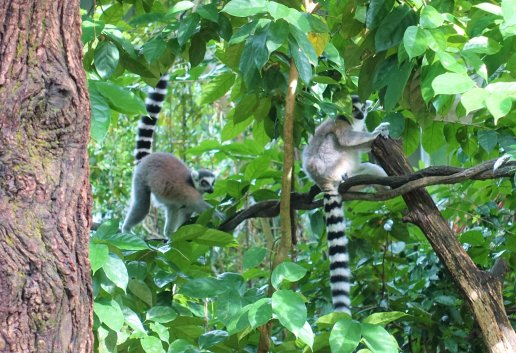 Ring-tailed Lemur, Rainforest Courtyard