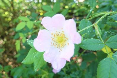 Rosa rugosa (Moje Hammarberg)