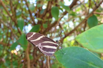 Zebra Longwing butterfly, Victoriahuset