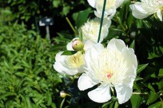 Paeonia lactiflora 'Monsieur Dupont'