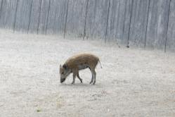 Wild Boar/Vildsvin