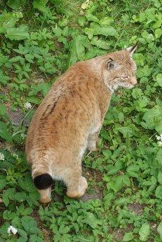 Lynx/Lodjur