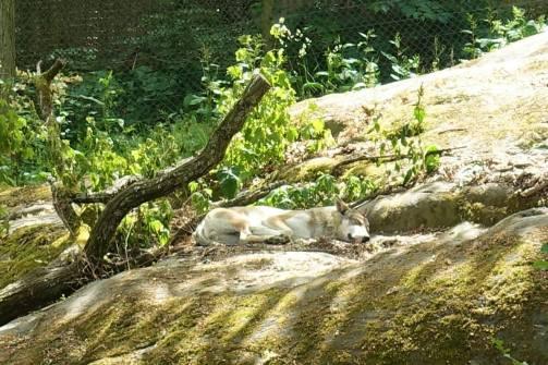 Wolf/Varg