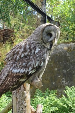 Great Grey Owl/Lappuggla