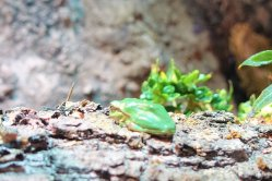 European Green Frog