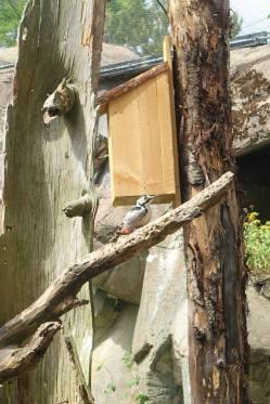 White-backed woodpecker/Vitryggig hackspett