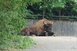 European Bison/Visent
