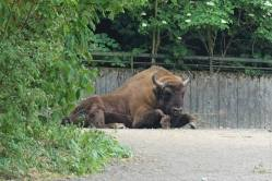 European Bison/Visent